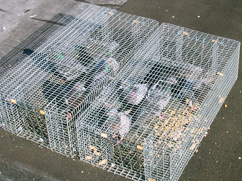 Cincinnati Trappper Wildlife Trapping Of Rats Bats
